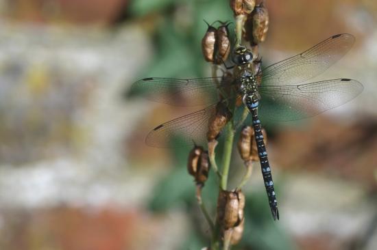 Aechna affinis