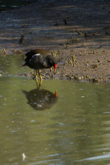 Gallinule poule d'eau qui observe son reflet, sans doute sans le savoir