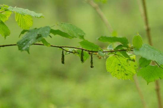 Fourreau de larve de cigarier du noisetier