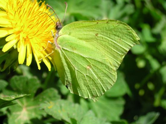 Gonepteryx rhammi femelle