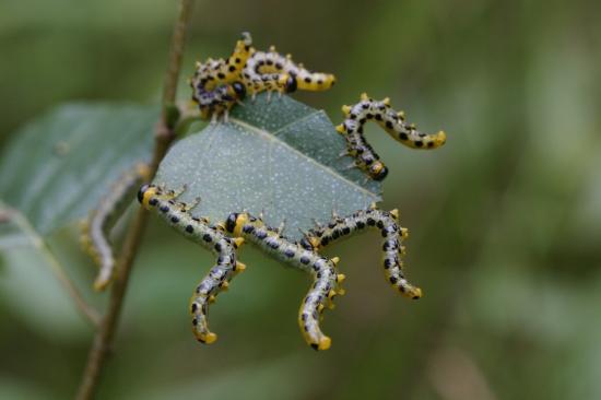 Hymenoptera tenthredinoidea