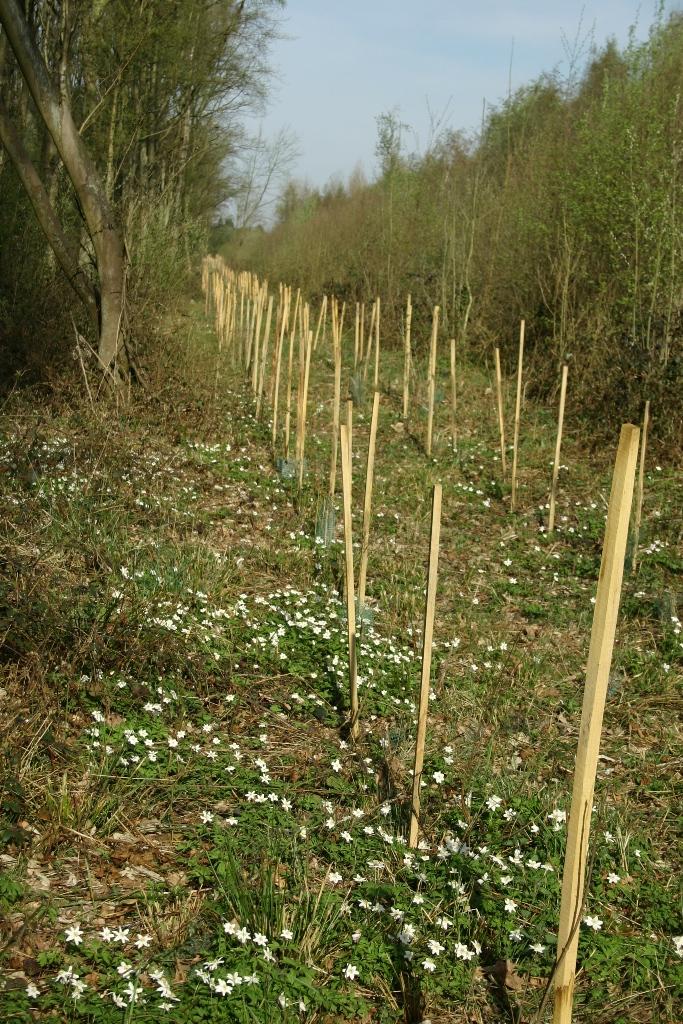 Anémone sylvestre dans plantation en lisière forestière