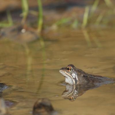 Profil de grenouille rousse