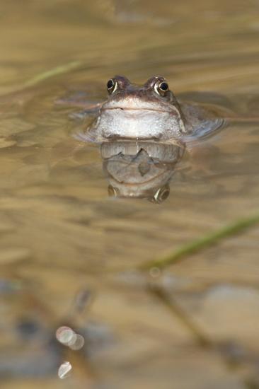 Reflets grenouille rousse