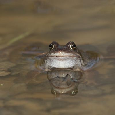 Portrait de grenouille rousse