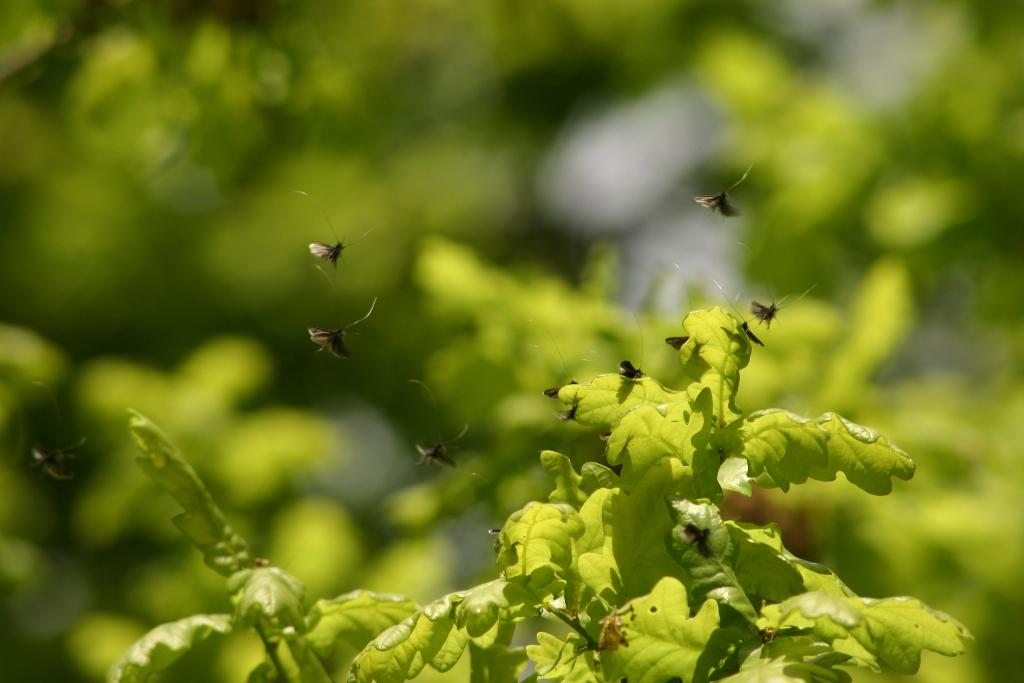 Rassemblement de papillons sur chêne