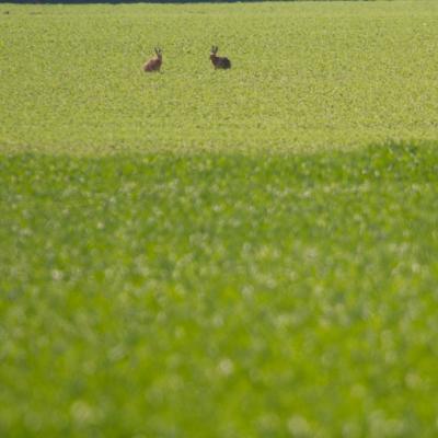 Période du bouquinage (ou rut) chez les lièvres