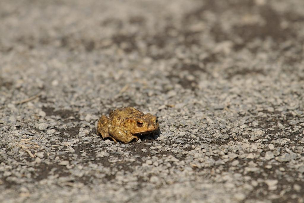 Migration du crapaud commun en début de printemps