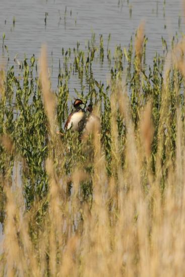 Couple de grèbe à cou noir sur son nid, bassin nord 1