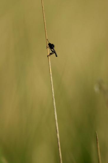 La mouche de mai
