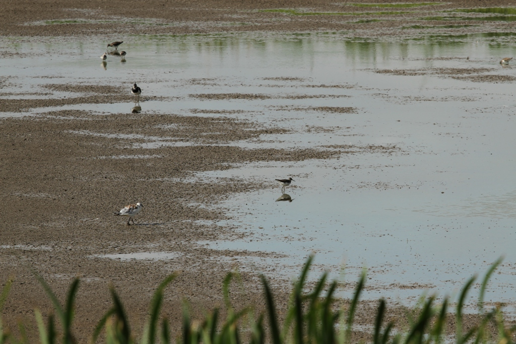 Limicoles sur la vasière du Bassin Nord 2