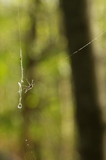 Insecte capturé par une toile d'araignée au petit matin
