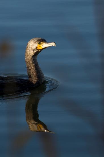 Portrait de grand cormoran