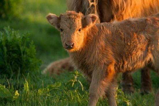 Jeune veau Highlands de 15 jours