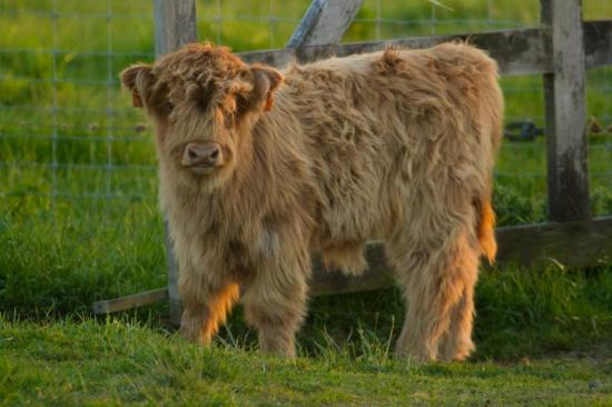 Veau de Highlands cattle