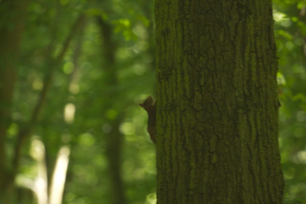 Écureuil roux, très furtif