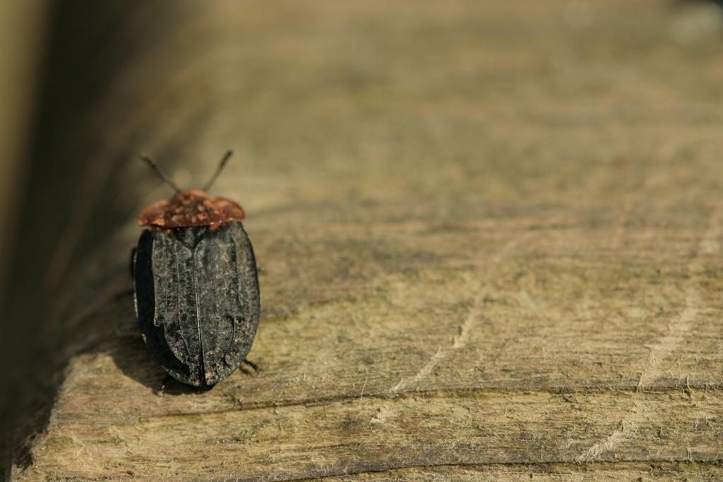 Oiseoptoma thoracicum (3)