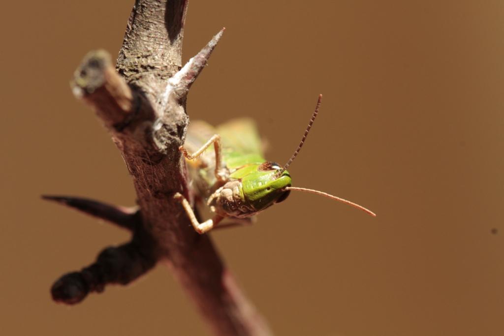 Chorthippus parrallelus