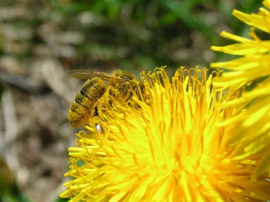 une abeille couverte de pollen de pissenlit