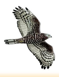 Site Ornithologique départemental des Cinq-Tailles, Bondrée apivore, oiseaux, Ornithologie
