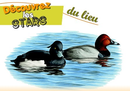 Site Ornithologique départemental des Cinq-Tailles, Fuligule milouin, Fuligule morillon, oiseaux, Ornithologie