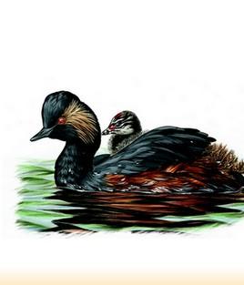 Site Ornithologique départemental des Cinq-Tailles, Grèbe à cou noir, oiseaux, Ornithologie