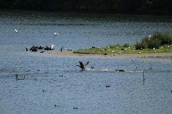Biotope et cortège avifaunistique côtoyé par le grèbe