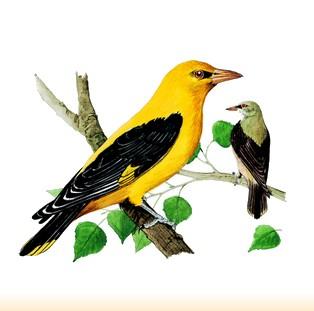 Site Ornithologique départemental des Cinq-Tailles, Loriot d'Europe, oiseaux, Ornithologie