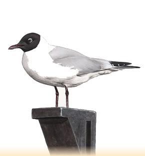 Site Ornithologique départemental des Cinq-Tailles, Mouette rieuse, oiseaux, Ornithologie